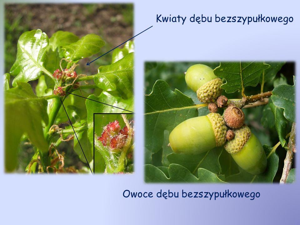 Kwiaty dębu bezszypułkowego Owoce dębu bezszypułkowego