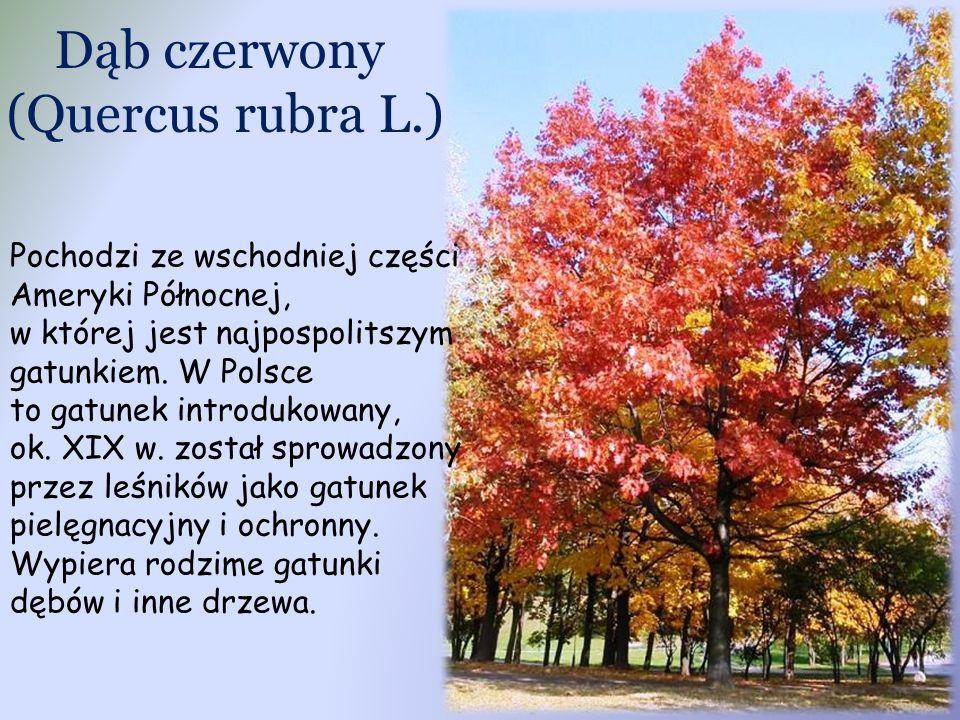 Dąb czerwony (Quercus rubra L.) Pochodzi ze wschodniej części Ameryki Północnej, w której jest najpospolitszym gatunkiem.