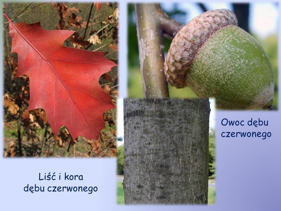 Liść i kora dębu czerwonego Owoc dębu czerwonego
