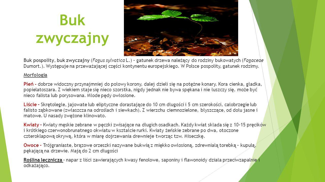 Bukwica lekarska Bukwica zwyczajna, bukwica lekarska, czyściec lekarski (Stachys officinalis (L.) Trevis., syn.
