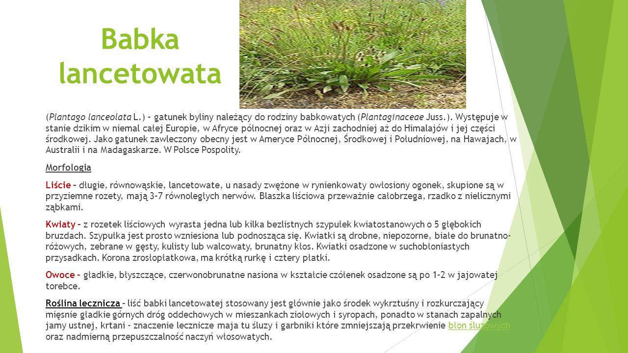 Babka lancetowata (Plantago lanceolata L.) – gatunek byliny należący do rodziny babkowatych (Plantaginaceae Juss.).