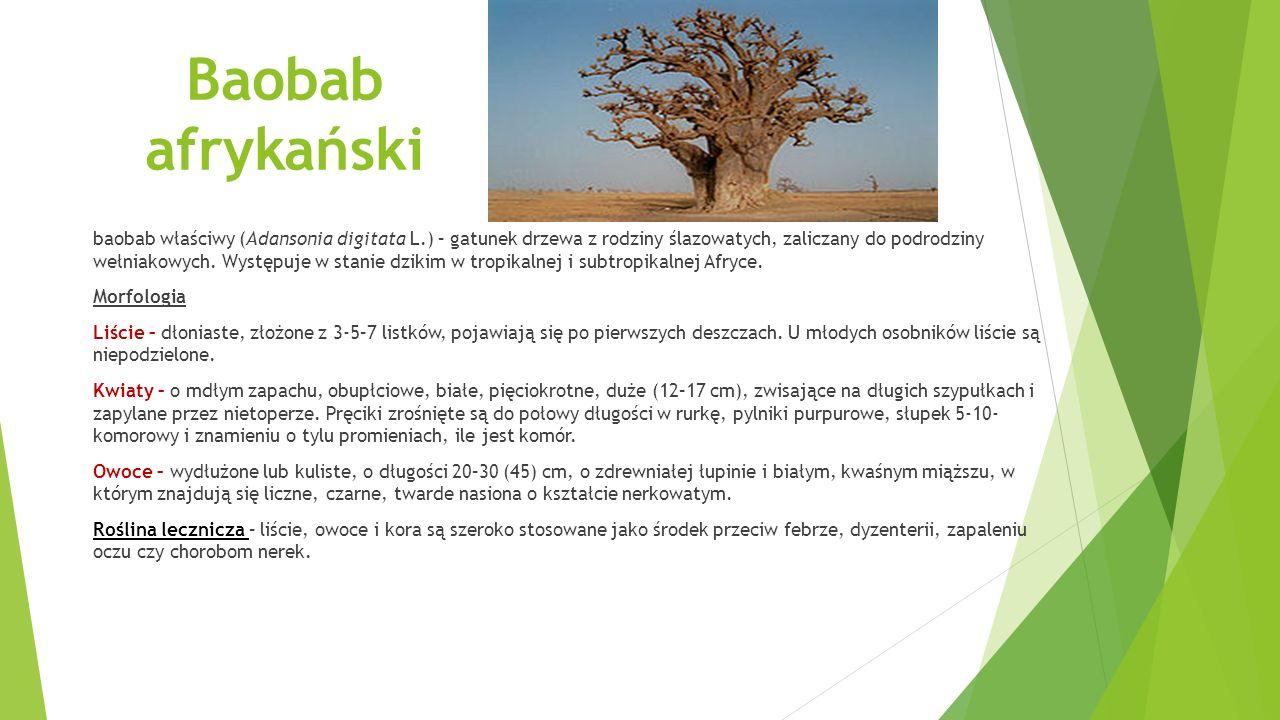 Baobab afrykański baobab właściwy (Adansonia digitata L.) – gatunek drzewa z rodziny ślazowatych, zaliczany do podrodziny wełniakowych.