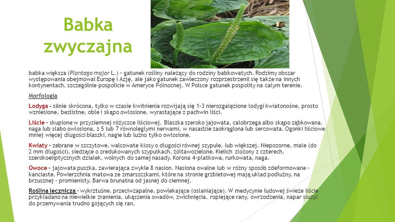 Babka zwyczajna babka większa (Plantago major L.) – gatunek rośliny należący do rodziny babkowatych.
