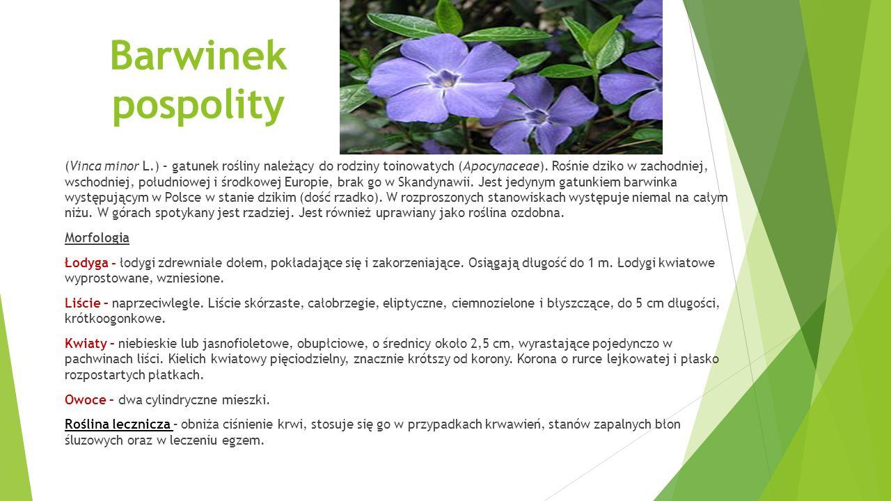 Barwinek pospolity (Vinca minor L.) – gatunek rośliny należący do rodziny toinowatych (Apocynaceae).