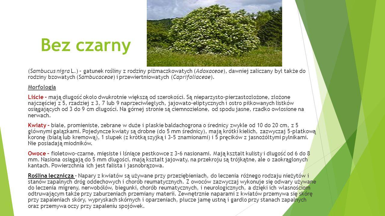 Bez czarny (Sambucus nigra L.) – gatunek rośliny z rodziny piżmaczkowatych (Adoxaceae), dawniej zaliczany był także do rodziny bzowatych (Sambucaceae) i przewiertniowatych (Caprifoliaceae).