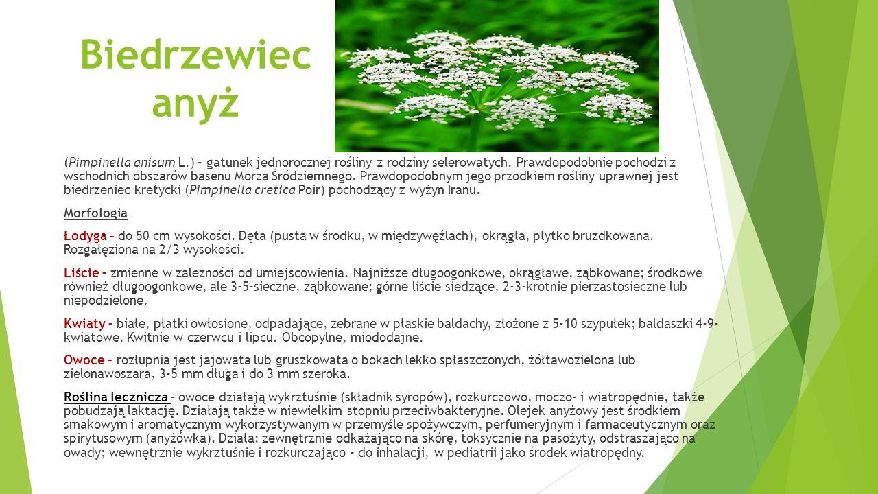 Biedrzewiec anyż (Pimpinella anisum L.) – gatunek jednorocznej rośliny z rodziny selerowatych.