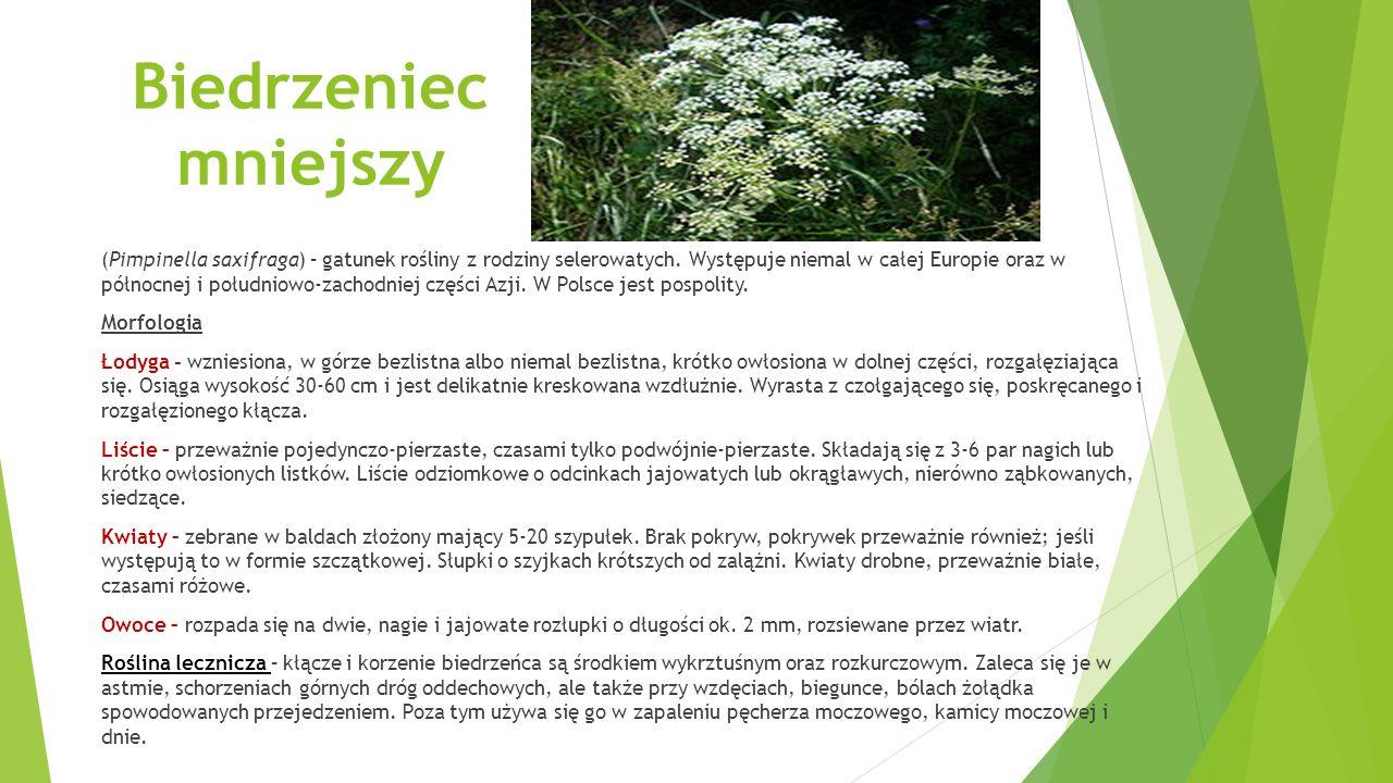 Biedrzeniec mniejszy (Pimpinella saxifraga) – gatunek rośliny z rodziny selerowatych.
