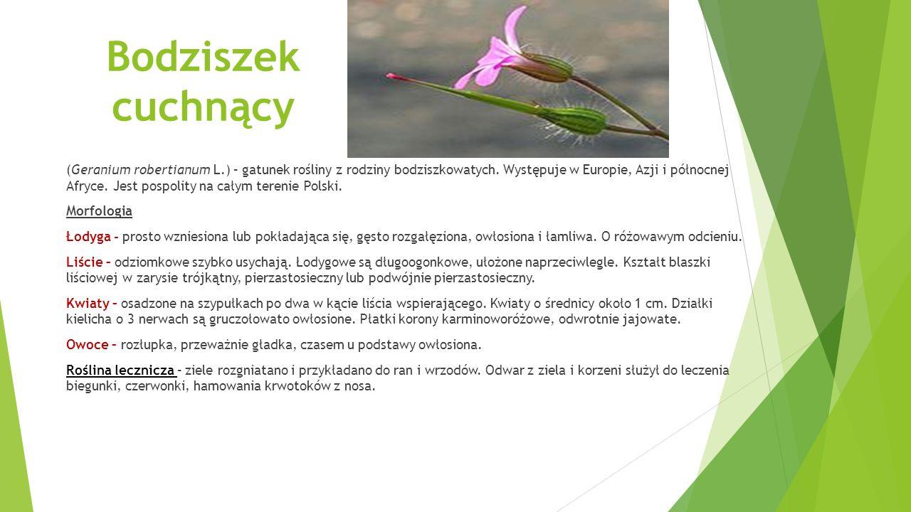 Bodziszek cuchnący (Geranium robertianum L.) – gatunek rośliny z rodziny bodziszkowatych. Występuje w Europie, Azji i północnej Afryce. Jest pospolity