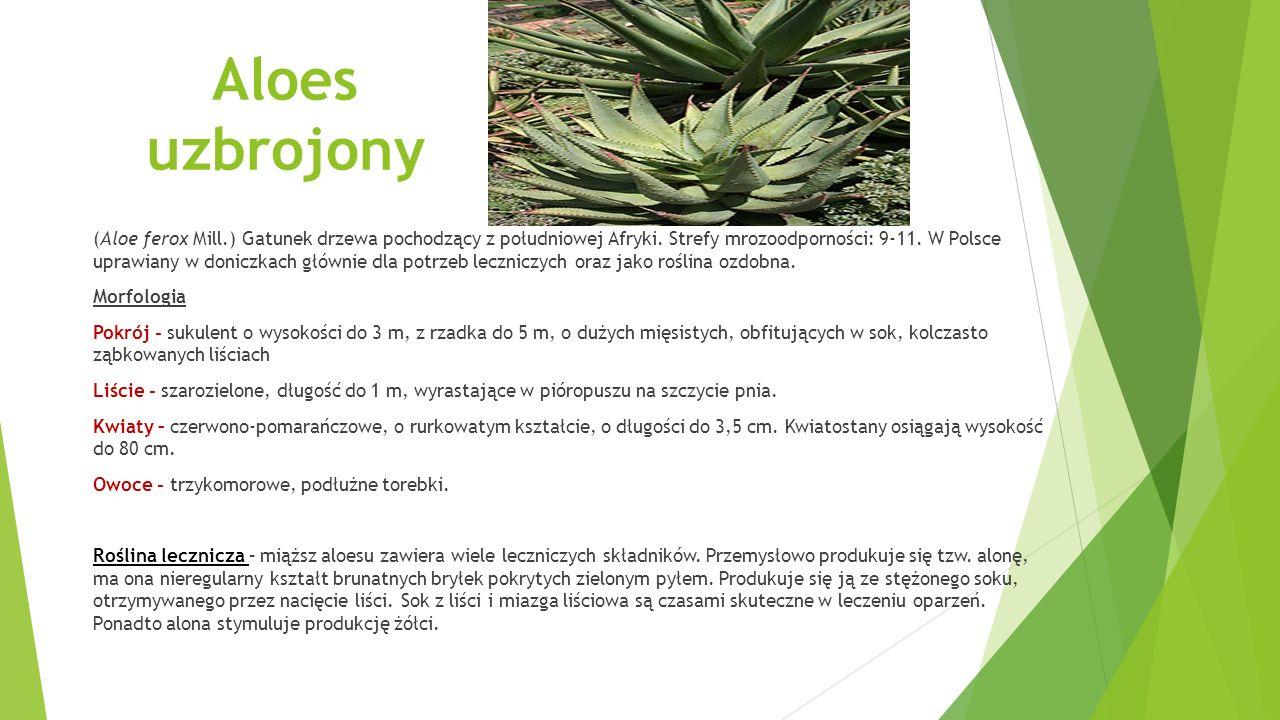 Aloes uzbrojony (Aloe ferox Mill.) Gatunek drzewa pochodzący z południowej Afryki.