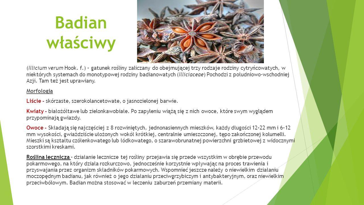 Badian właściwy (Illicium verum Hook.