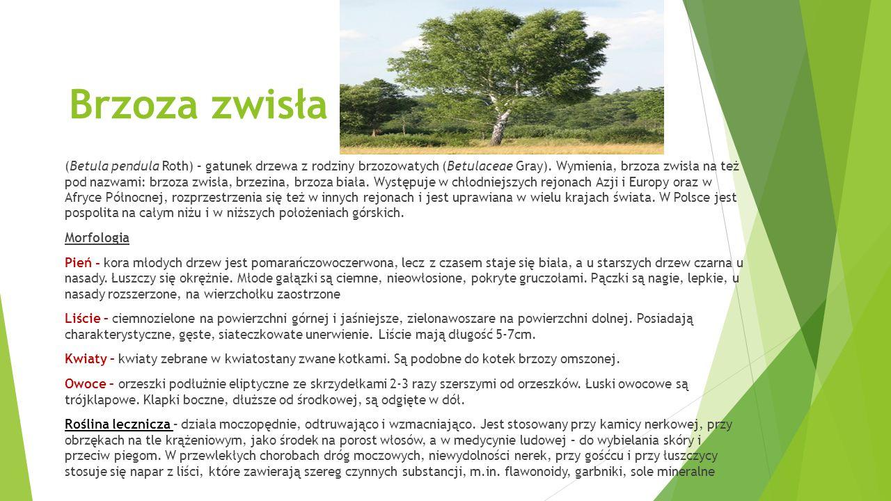 Brzoza zwisła (Betula pendula Roth) – gatunek drzewa z rodziny brzozowatych (Betulaceae Gray).