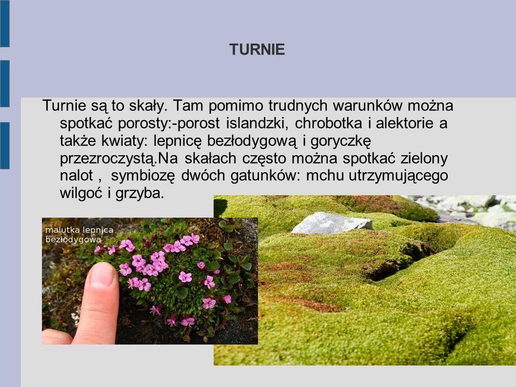 Tłustosz alpejski Ta niewinnie wyglądająca roślina jest podstępnym drapieżnikiem. Owady siadające na jej liściach przylepiają się. Liść wtedy powoli s