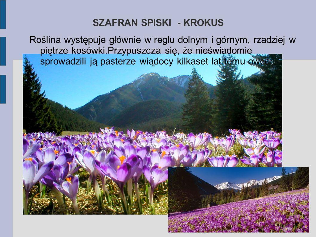 INNE ZNANE ROŚLINY TATR Krokusy Jednym z najpiękniejszych widoków Tatr są kwitnące krokusy.