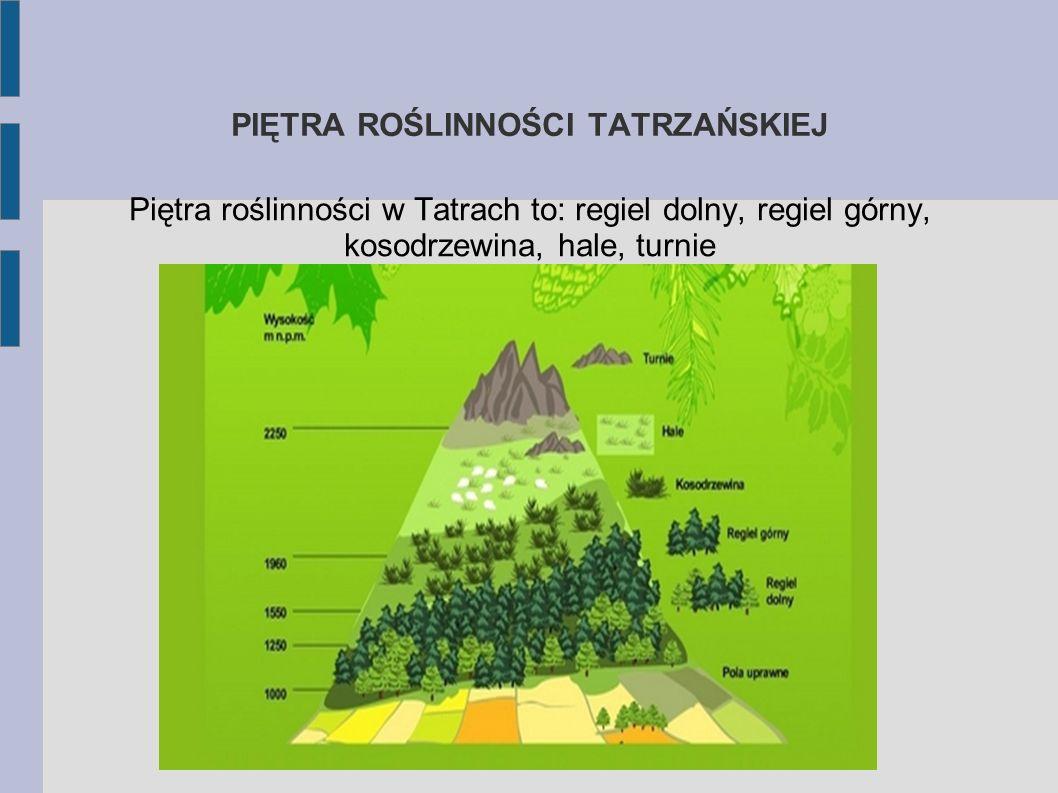 PIĘTRA KLIMATYCZNO− ROŚLINNE W zależności od wysokości n.p.m występują różne warunki klimatyczne. Im wyżej tym jest zimniej, klimat jest bardziej suro