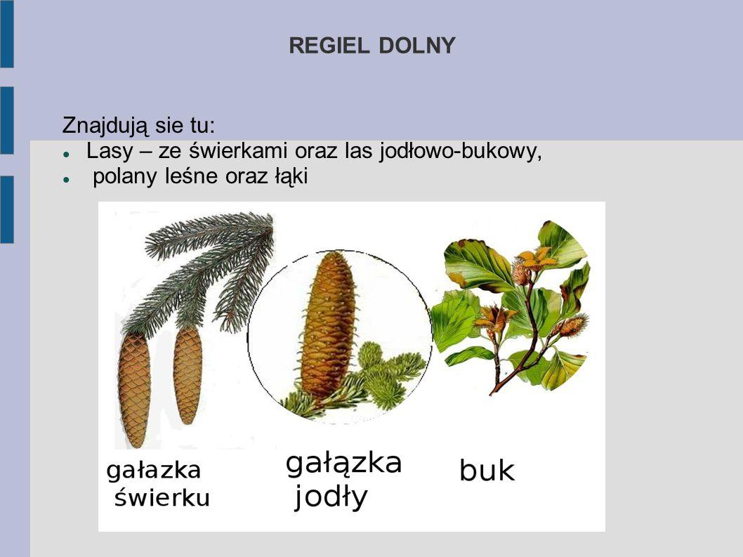 PIĘTRA ROŚLINNOŚCI TATRZAŃSKIEJ Piętra roślinności w Tatrach to: regiel dolny, regiel górny, kosodrzewina, hale, turnie