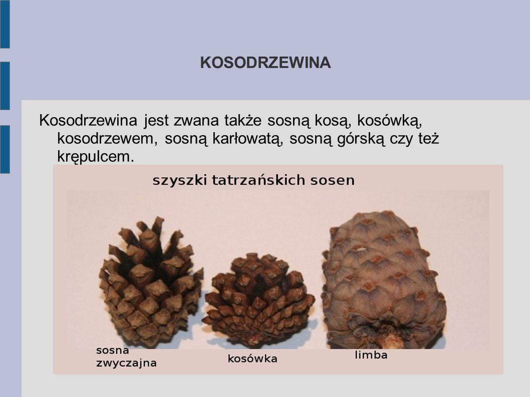 SOSNA LIMBA Limbę w naturalnych warunkach możemy zobaczyć tylko w Tatrach.