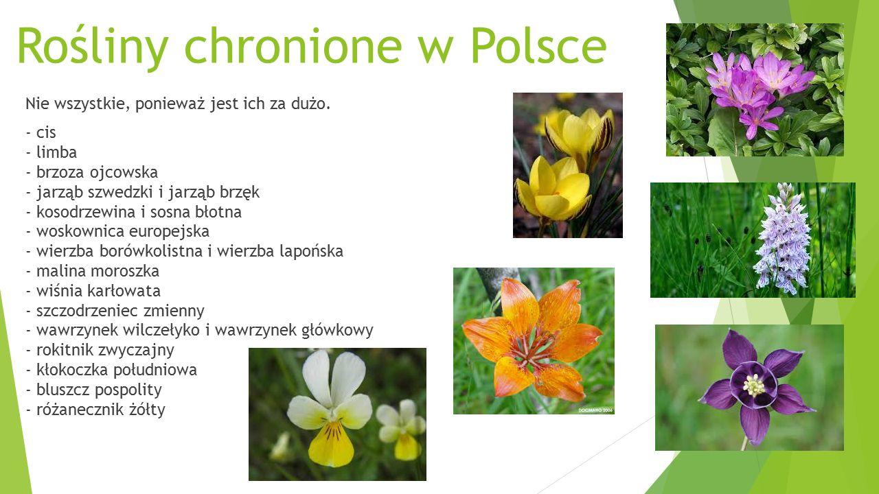 Rośliny chronione w Polsce Nie wszystkie, ponieważ jest ich za dużo.