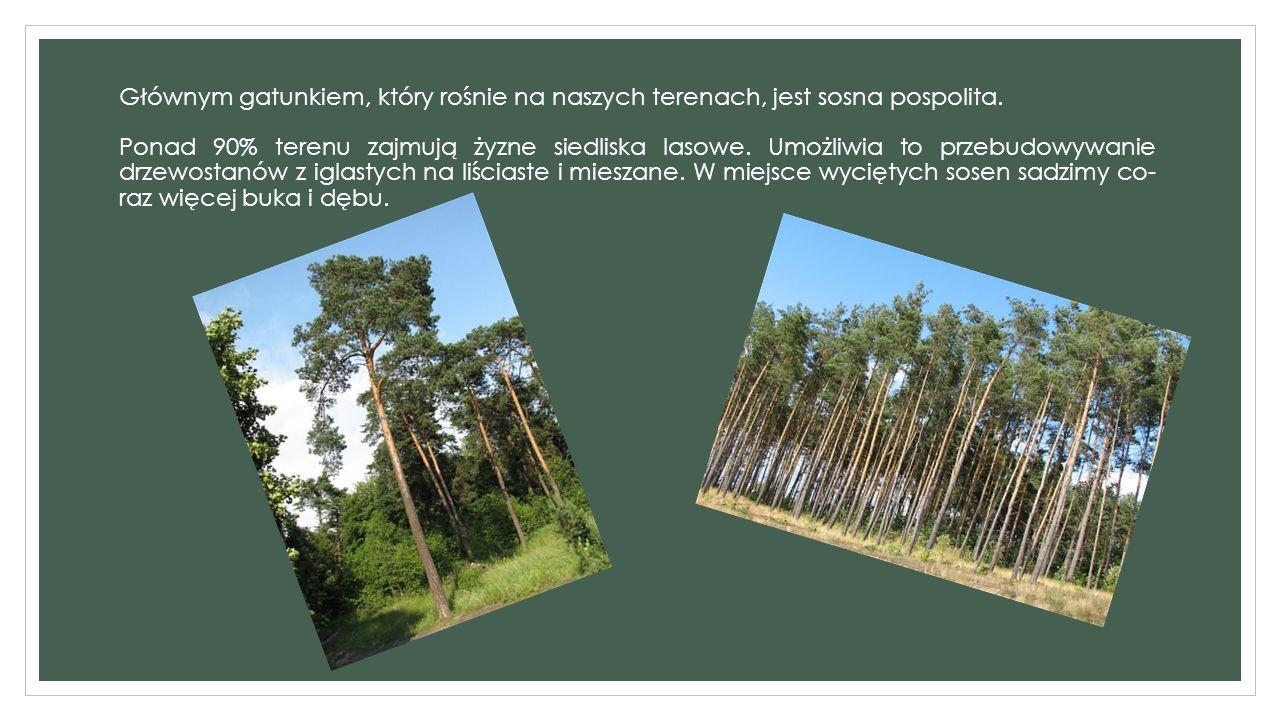 Głównym gatunkiem, który rośnie na naszych terenach, jest sosna pospolita.