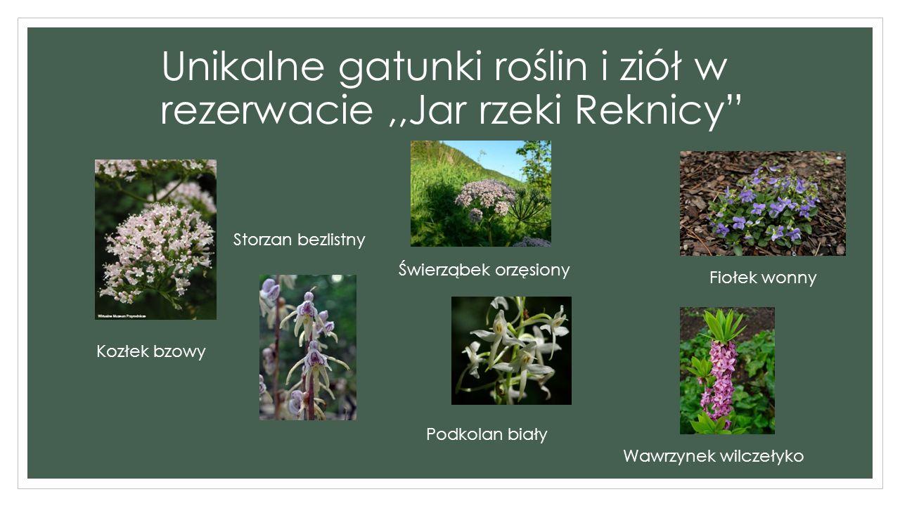 ,,Jar rzeki Reknicy Jar rzeki Reknicy – występuje tam las mieszany z 100 – 140 letnimi drzewami oraz rosną tam unikatowe gatunki roślin zielnych czyli np.