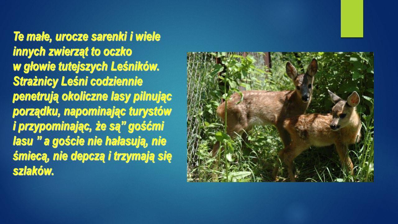 Te małe, urocze sarenki i wiele innych zwierząt to oczko w głowie tutejszych Leśników.