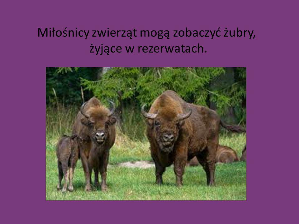 Miłośnicy zwierząt mogą zobaczyć żubry, żyjące w rezerwatach.