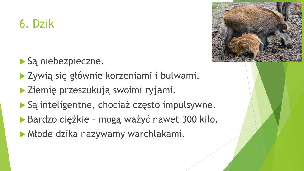 6. Dzik  Są niebezpieczne.  Żywią się głównie korzeniami i bulwami.