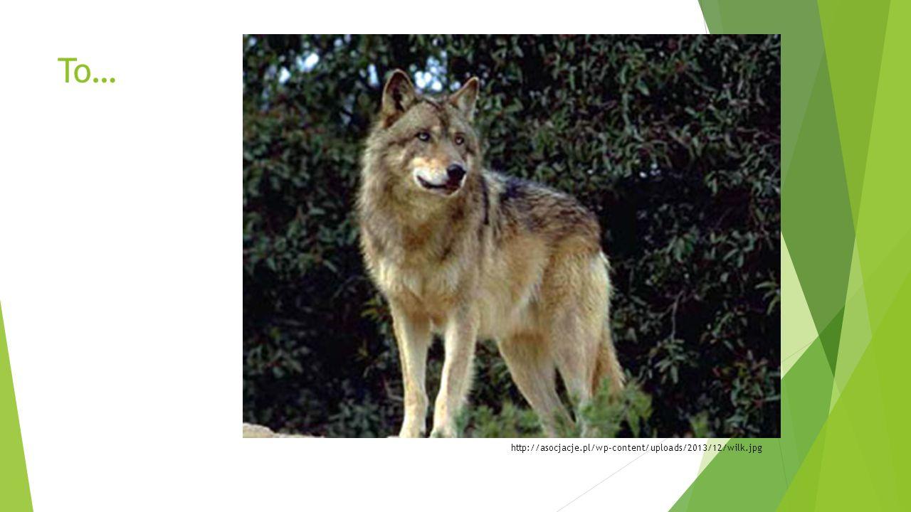 3.Wilk  Żyją w stadach.  Drapieżniki.  Sprytne i szybkie.