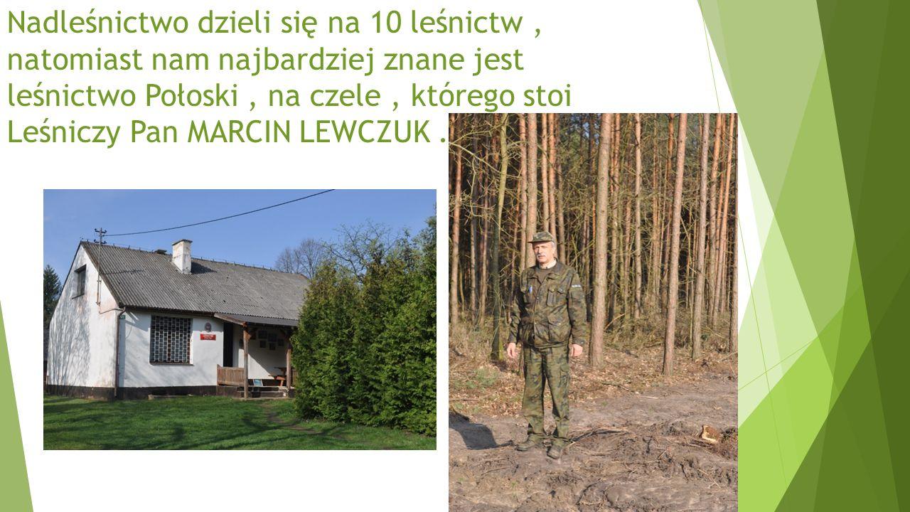 Nadleśnictwo dzieli się na 10 leśnictw, natomiast nam najbardziej znane jest leśnictwo Połoski, na czele, którego stoi Leśniczy Pan MARCIN LEWCZUK.
