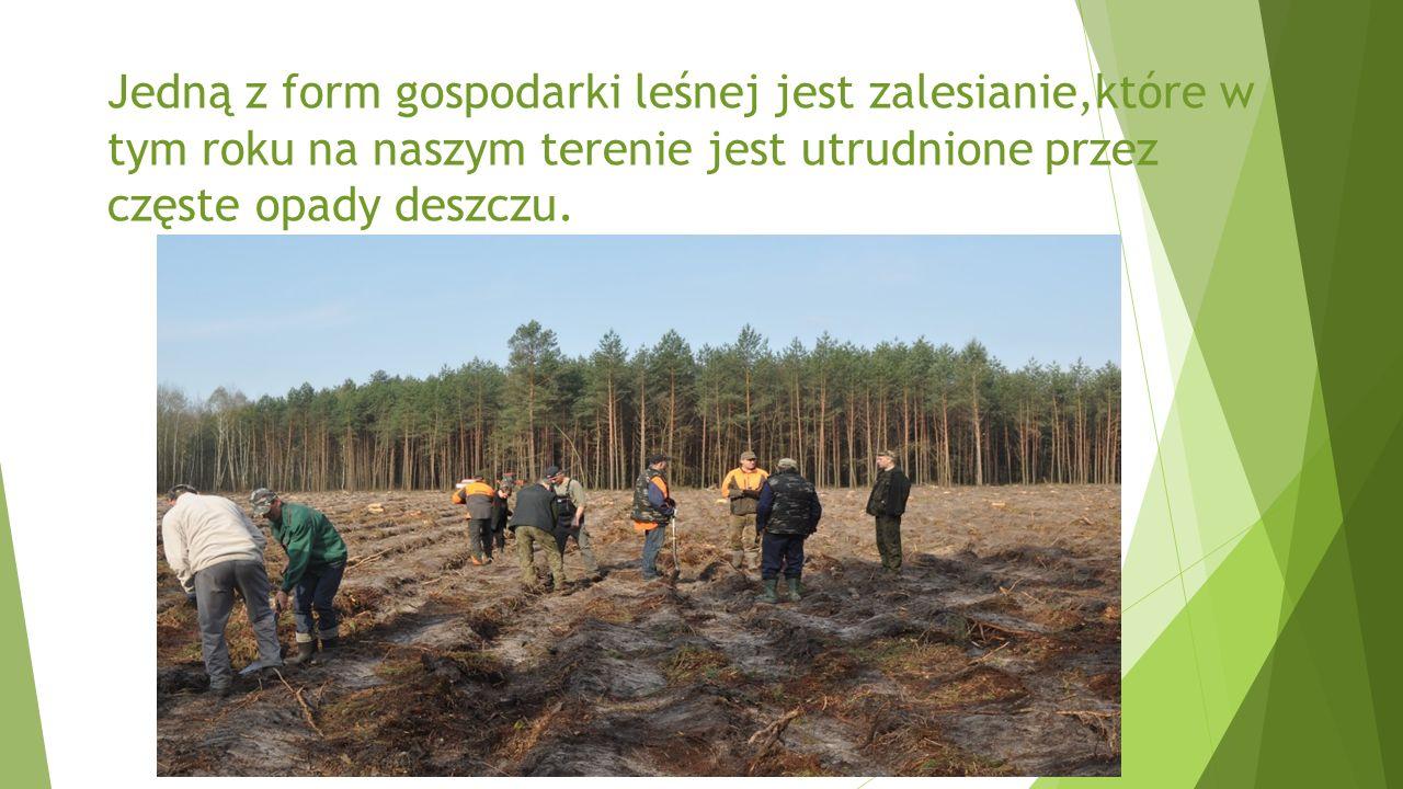 Jedną z form gospodarki leśnej jest zalesianie,które w tym roku na naszym terenie jest utrudnione przez częste opady deszczu.
