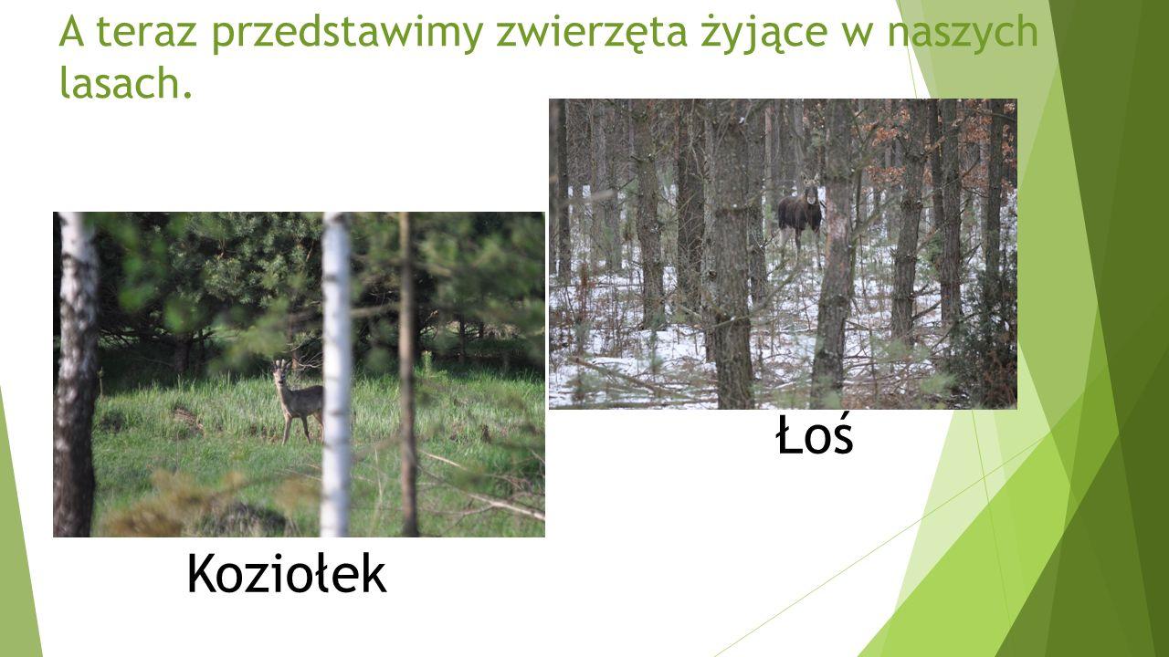 A teraz przedstawimy zwierzęta żyjące w naszych lasach. Koziołek Łoś