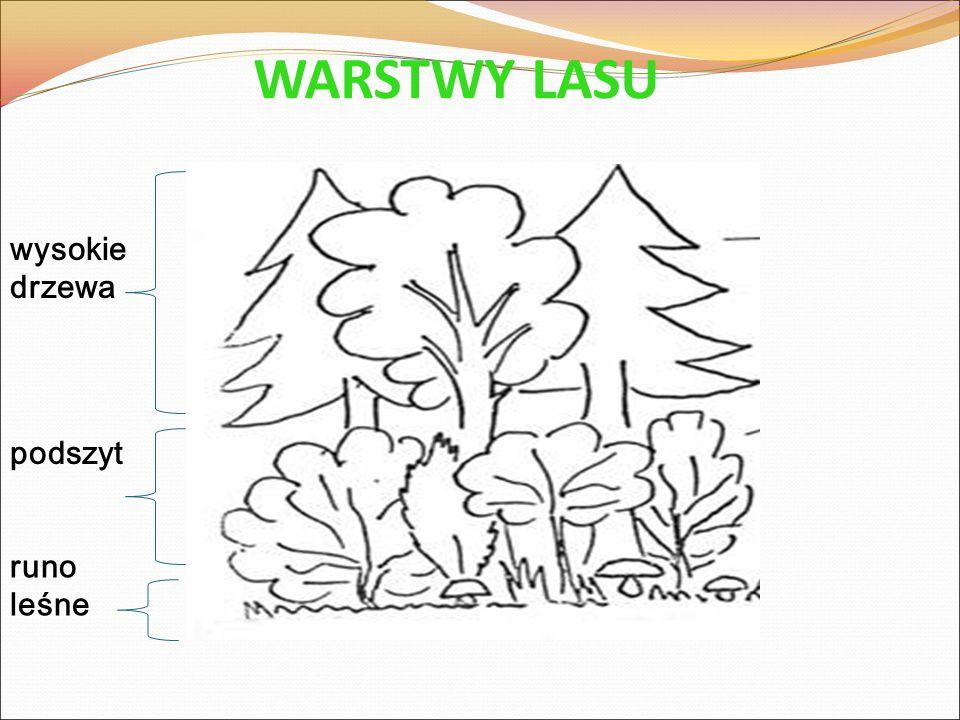 WARSTWY LASU wysokie drzewa podszyt runo leśne