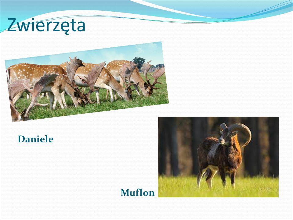 Zwierzęta Daniele Muflon