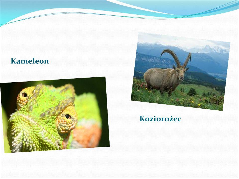 Kameleon Koziorożec