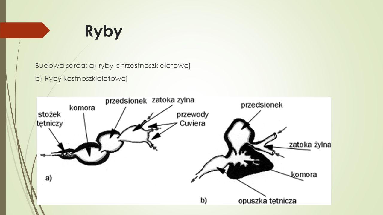 Ryby Budowa serca: a) ryby chrzęstnoszkieletowej b) Ryby kostnoszkieletowej