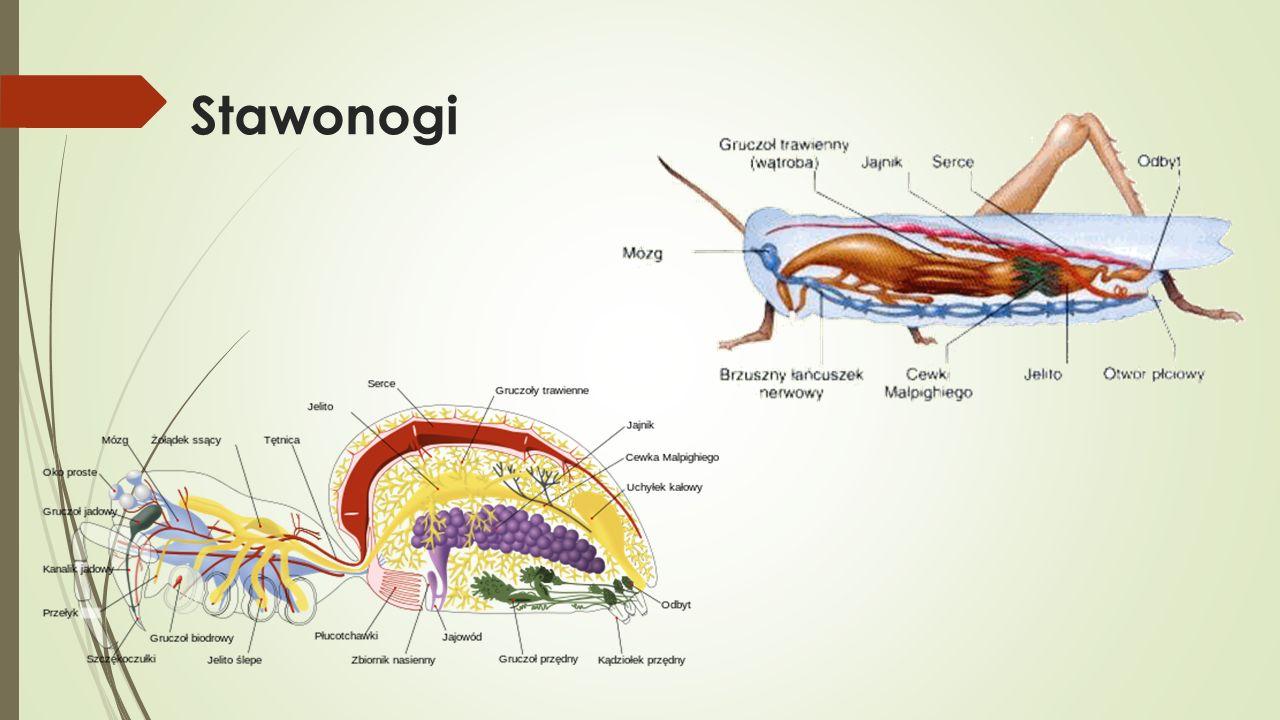 3.Wskaż grupę, w której wszystkie zwierzęta posiadają układ krwionośny typu zamkniętego.