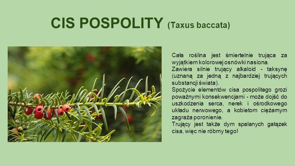 CIS POSPOLITY (Taxus baccata) Cała roślina jest śmiertelnie trująca za wyjątkiem kolorowej osnówki nasiona.