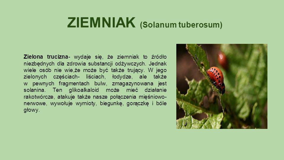 ZIEMNIAK (Solanum tuberosum) Zielona trucizna- wydaje się, że ziemniak to źródło niezbędnych dla zdrowia substancji odżywczych.