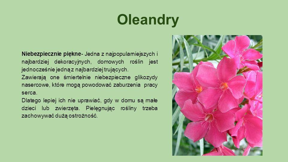 Oleandry Niebezpiecznie piękne- Jedna z najpopularniejszych i najbardziej dekoracyjnych, domowych roślin jest jednocześnie jedną z najbardziej trujących.
