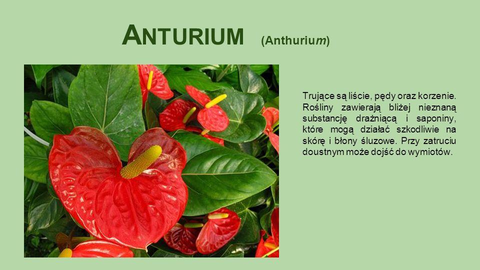 A NTURIUM (Anthurium) Trujące są liście, pędy oraz korzenie.
