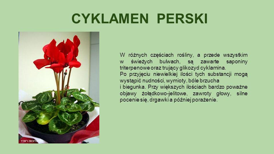 CYKLAMEN PERSKI W różnych częściach rośliny, a przede wszystkim w świeżych bulwach, są zawarte saponiny triterpenowe oraz trujący glikozyd cyklamina.