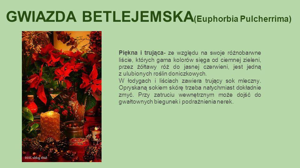 GWIAZDA BETLEJEMSKA (Euphorbia Pulcherrima) Piękna i trująca- ze względu na swoje różnobarwne liście, których gama kolorów sięga od ciemnej zieleni, przez żółtawy róż do jasnej czerwieni, jest jedną z ulubionych roślin doniczkowych.