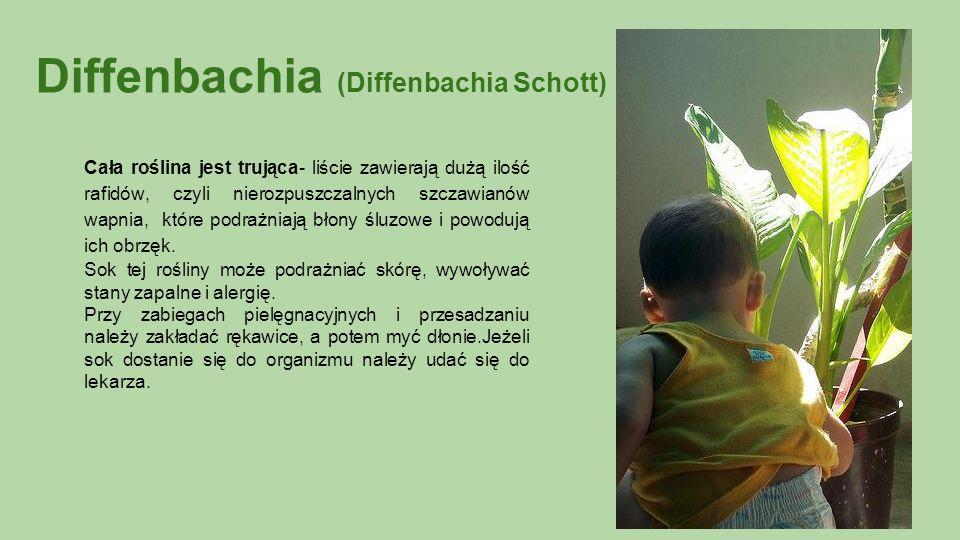 Diffenbachia (Diffenbachia Schott) Cała roślina jest trująca- liście zawierają dużą ilość rafidów, czyli nierozpuszczalnych szczawianów wapnia, które podrażniają błony śluzowe i powodują ich obrzęk.