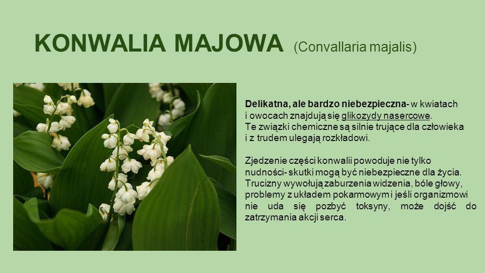 KONWALIA MAJOWA (Convallaria majalis) Delikatna, ale bardzo niebezpieczna- w kwiatach i owocach znajdują się glikozydy nasercowe.