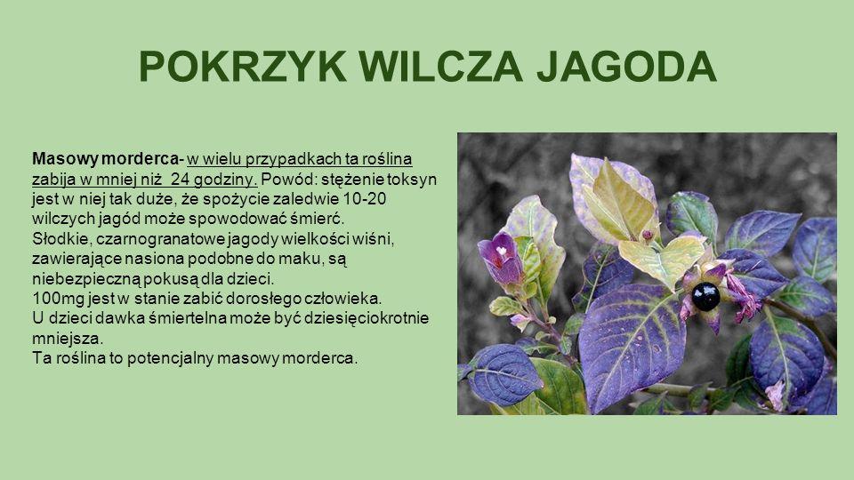 POKRZYK WILCZA JAGODA Masowy morderca- w wielu przypadkach ta roślina zabija w mniej niż 24 godziny.