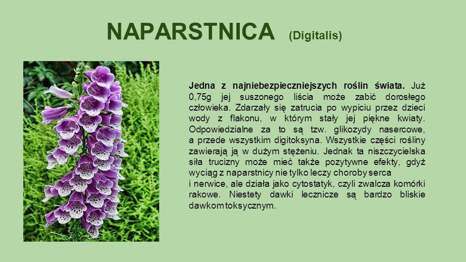 NAPARSTNICA (Digitalis) Jedna z najniebezpieczniejszych roślin świata.