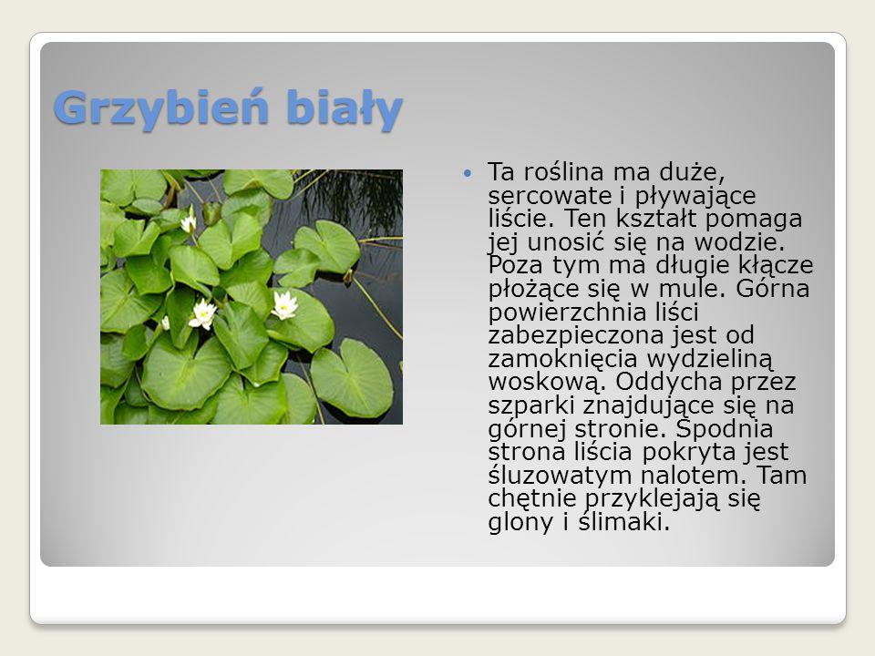 Grzybień biały Ta roślina ma duże, sercowate i pływające liście.