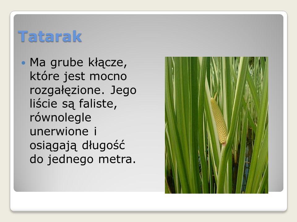 Tatarak Ma grube kłącze, które jest mocno rozgałęzione.