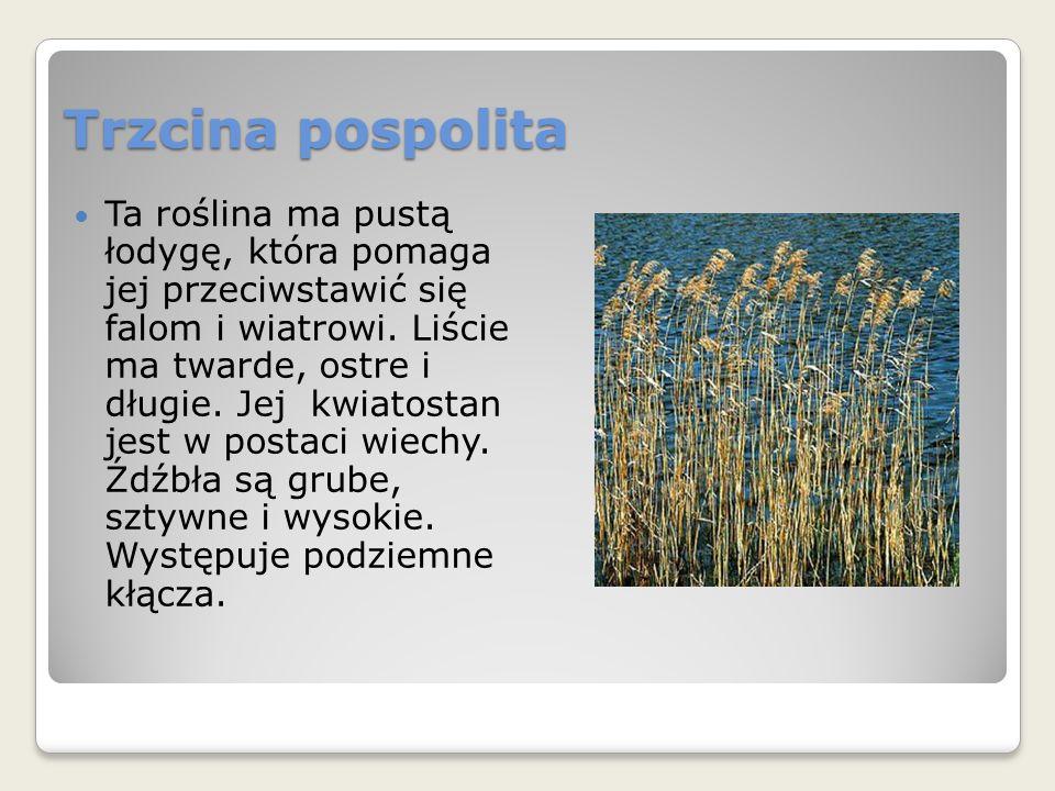 Trzcina pospolita Ta roślina ma pustą łodygę, która pomaga jej przeciwstawić się falom i wiatrowi.