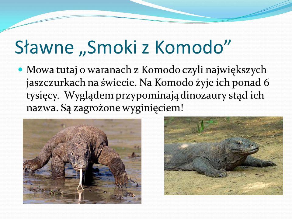 """Sławne """"Smoki z Komodo Mowa tutaj o waranach z Komodo czyli największych jaszczurkach na świecie."""