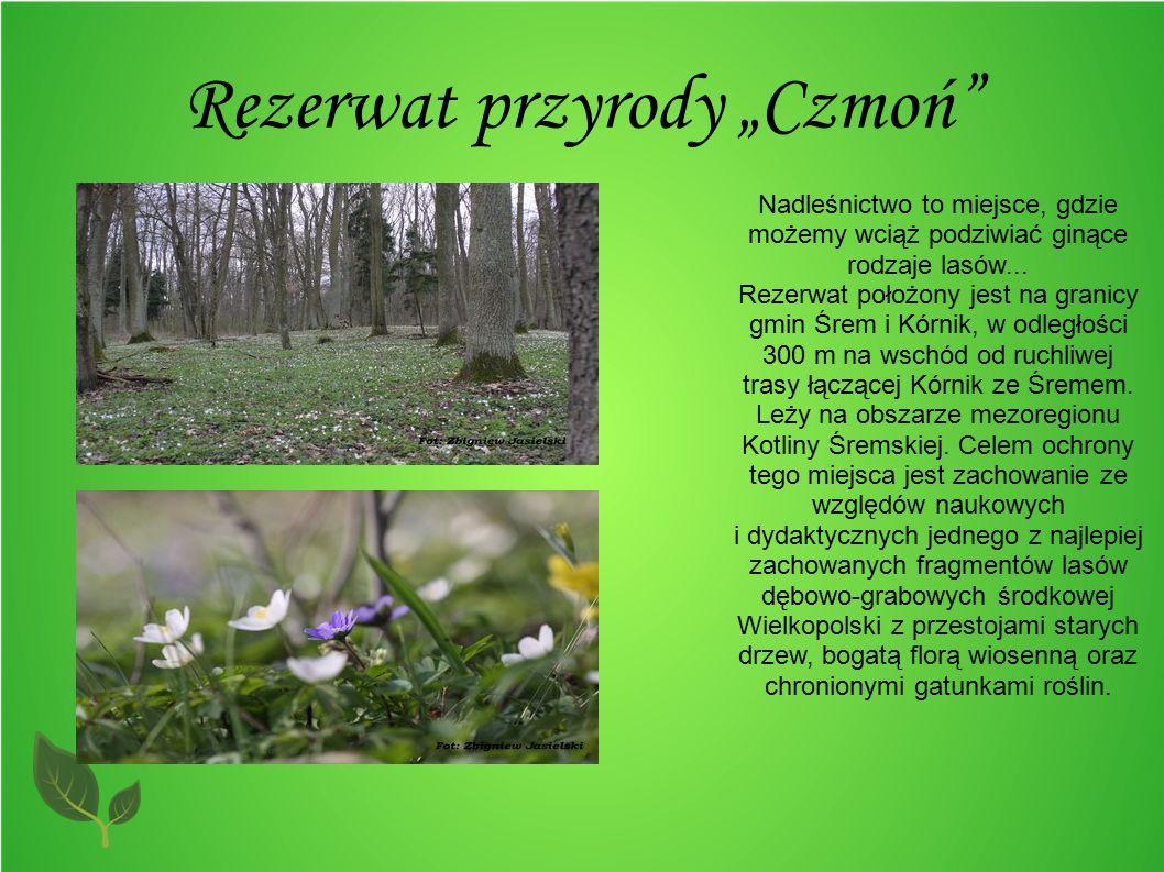 """Rezerwat przyrody """"Czmoń"""" Nadleśnictwo to miejsce, gdzie możemy wciąż podziwiać ginące rodzaje lasów... Rezerwat położony jest na granicy gmin Śrem i"""